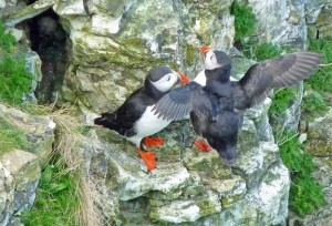Bird watching puffins